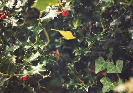 ivy-456550_640.jpg